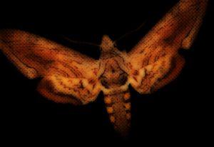 moth-tomato-hornworm